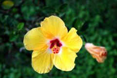 Deshaies_-_Fleurs_des_iles_-_Ibiscus.jpg